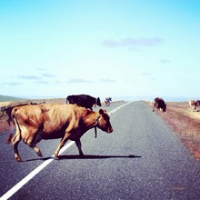 Side View Of Cows Crossing Country Road