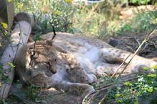 Lynx Laying Down