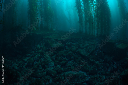 Photo Forests of giant kelp, Macrocystis pyrifera, commonly grow in the cold waters along the coast of California