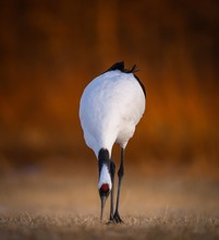 Closeup Shot Of A Red-crowned Crane Pecking Grass In A Field In Kushiro, Hokkaido