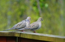 A Pair Of American Mourning Doves On Top Of The Wooden Deck
