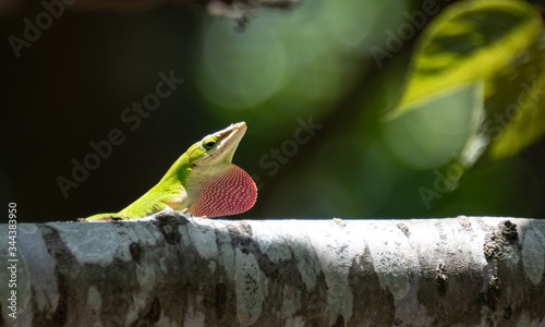 Photo Male Green Anole
