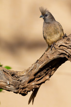 Speckled Mousebird Sitting On ...