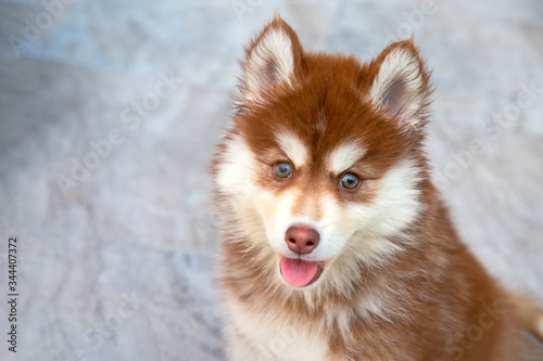 Fotomural Portrait of brown siberian husky puppy looking the camera