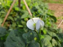 Flower Of Cowpea Field Peas Bl...