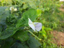 Flower Of Cowpea Field Peas Bl...