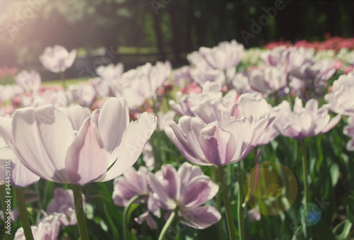 soft pink tulips close-up in backlight Canvas Print