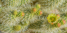 Teddy Bear Cholla (Cylindropun...