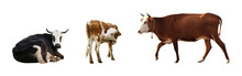 Collage Of Cows On White Background, Banner Design. Animal Husbandry