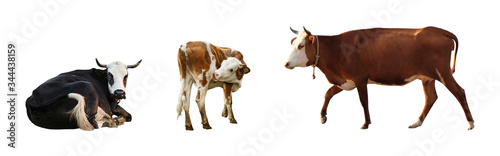 Collage of cows on white background, banner design Slika na platnu