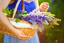 Closeup Of Women Hands Holding A Basket With Wildflowers. Summer Violet Flowers In Straw Basket. Lupine Field. Provence