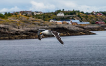 Gull In Norway On The Coast Of...