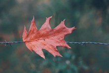 Close-up Of Maple Leaf On Barb...