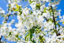Spring Background Of Blooming ...