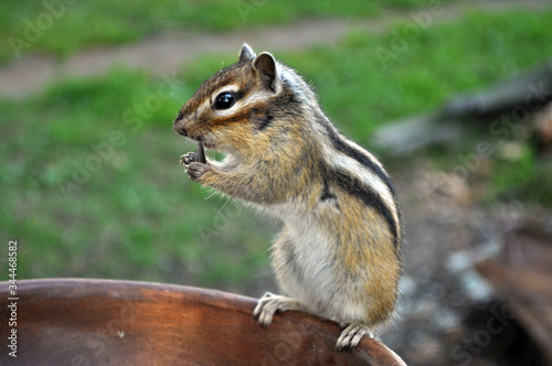 Photo Chipmunk stands on its hind legs