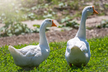 Two White Big Geese Peacefully...