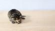 Mały kot kociak zwierzę leży na desce biurko