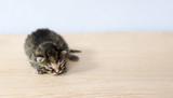 Fototapeta Zwierzęta - Mały kot kociak zwierzę leży na desce biurko