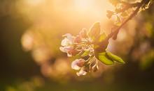 Apple Tree Blossoms In Warm Af...