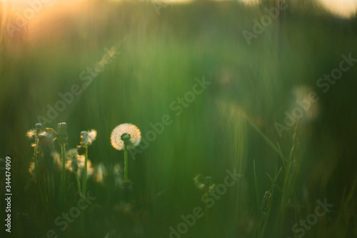Dandelion in green grass in soft light - 344474909