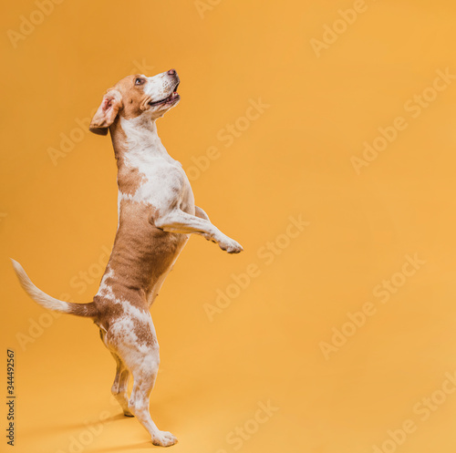 Adorable dog standing on his hind legs Canvas Print