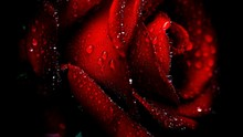 Close-up Of Wet Red Rose Again...