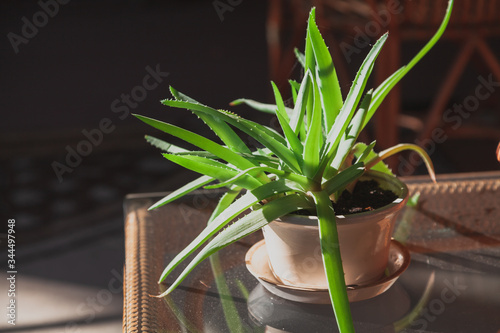 Pot of aloe stands on black background in backlight Canvas Print