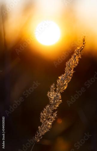 Fototapeta Gras Gräser Halm Silhouetten Gegenlicht Sonnenuntergang Dämmerung Ähre Sonnenauf