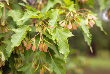 Close Up View Of Acer Tataricum Or Tatar Maple Leaves And Achenes On Blurry Background. Selected Focus. Beauty Of Nature, Amazing Treasures Around Us, Protecting Wild Flora. Background, Wallpaper
