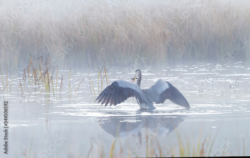 Great blue heron with reflection hunts on a foggy lake with reeds in Algonquin p Canvas Print