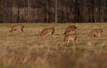 White-tailed Deer Females Graz...