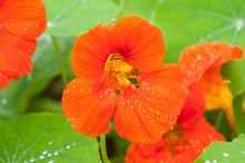 Orange Nasturtium Flower With Water Droplets. Tropaeolum