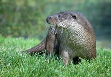 Otter Standing On Grass