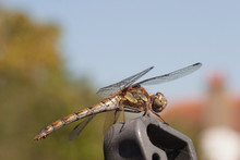 Dragonfly Resting Close Up UK