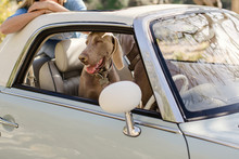 Weimaraner Dog Smiling In A Pa...