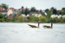 Wild Greylag Geese Swimming On...