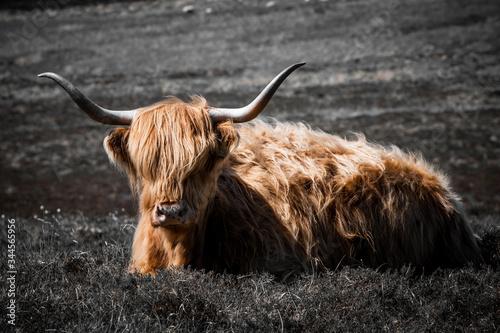 Fototapeta La Scozia ha le sue particolari mucche