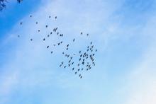 Flock Of Homing Pigeons Flies ...