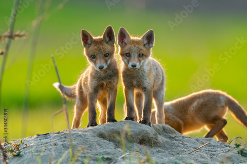 red fox cubs in the wild Wallpaper Mural