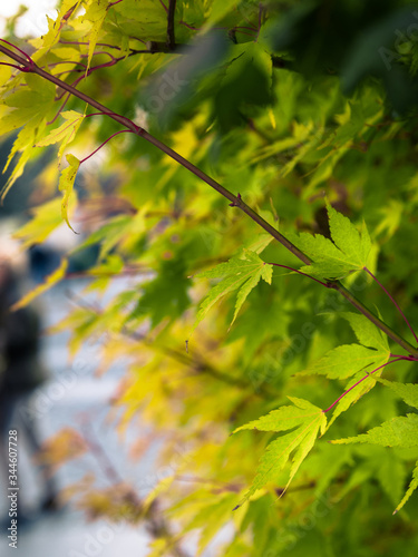 Stampa su Tela Primo piano di foglie d'acero in autunno