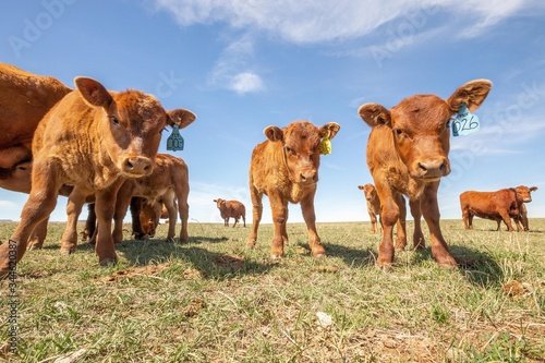 Group of calves Wallpaper Mural