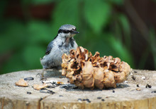 Little Nuthatch Pecked Nuts Fr...