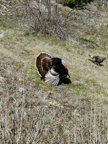 Obraz na plátně Tom Turkey Mating Display