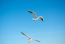 Pair Of  Seagulls Flying In A ...