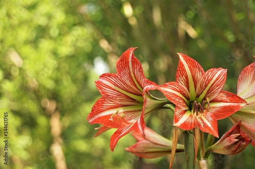 Beautiful red and white amaryllis flower full bloom in the garden, Hippeastrum Amaryllis or knight's star lily is common name, Spring in Georgia USA Canvas Print