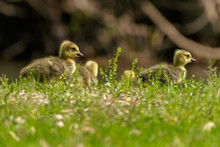 Baby Duck And Ducklings