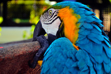The Macaw Comes From South Am...