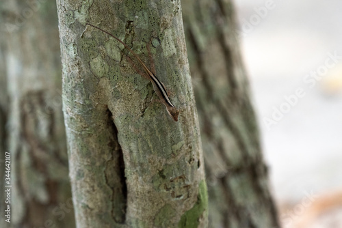Photo Brown Anole