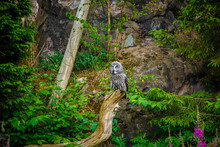 Ural Owl (Strix Uralensis) In ...