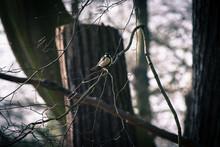Carolina Chickadee Perching On Branch